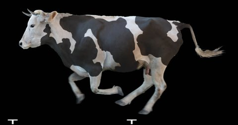 Black and white cow runs on a transparent background. Cyclic animation contains an alpha channel. Can also use as a silhouette.