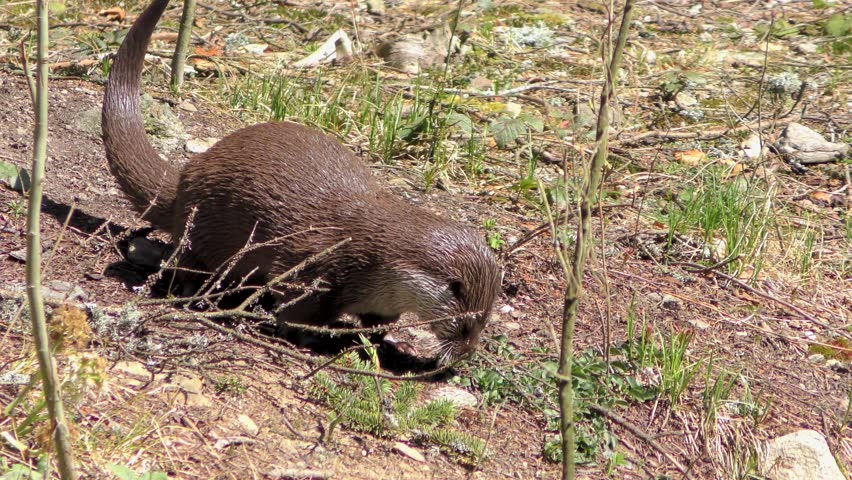 4K footage of an Otter in the Bavarian Forest (Bayerischer Wald in German) National Park in Bavaria, Germany