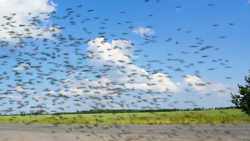 Locusts swarm is flying from field to field. Locust swarm is flying across the road.