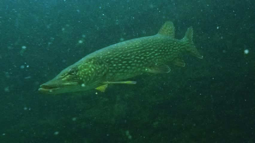 Big Northern Pike (Esox Lucius). Underwater video of fresh water fish. Animals in nature.