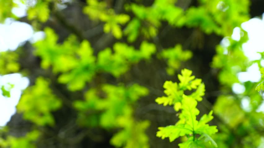 Oak tree in the forest | Shutterstock HD Video #17391382