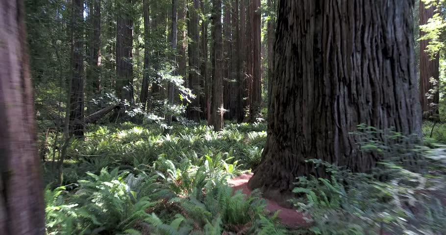 Flying low over ferns in Redwood forest, northern California   Shutterstock HD Video #17426302