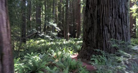 Flying low over ferns in Redwood forest, northern California