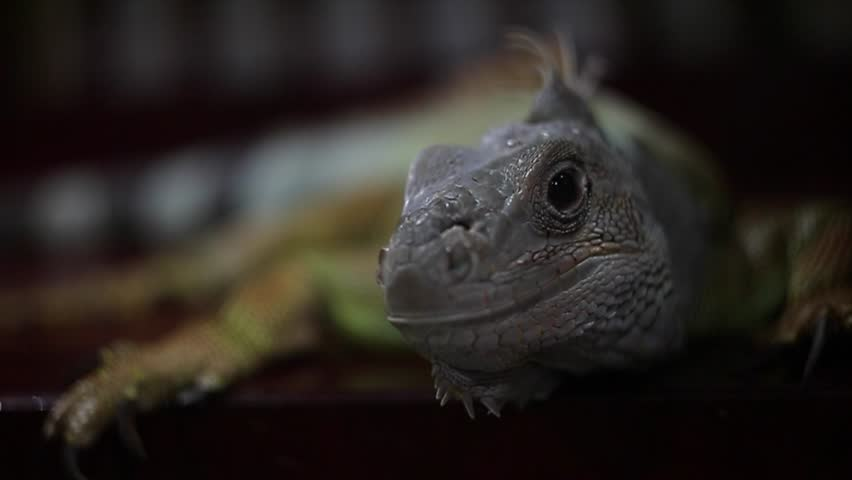 Iguana kissing cat in home #17434522
