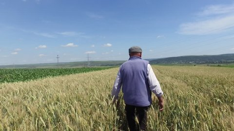 Tracking old farmer in beautiful ripe wheat field, peasant walking, back view
