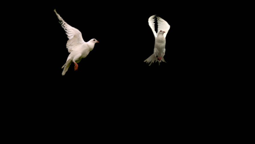Two white doves - alpha matte Slow motion shot on green screen. Good for wedding backgrounds or titles.