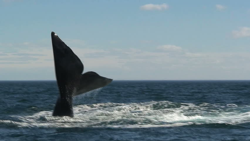 A whale lifting its tail and slapping it down on the surface.