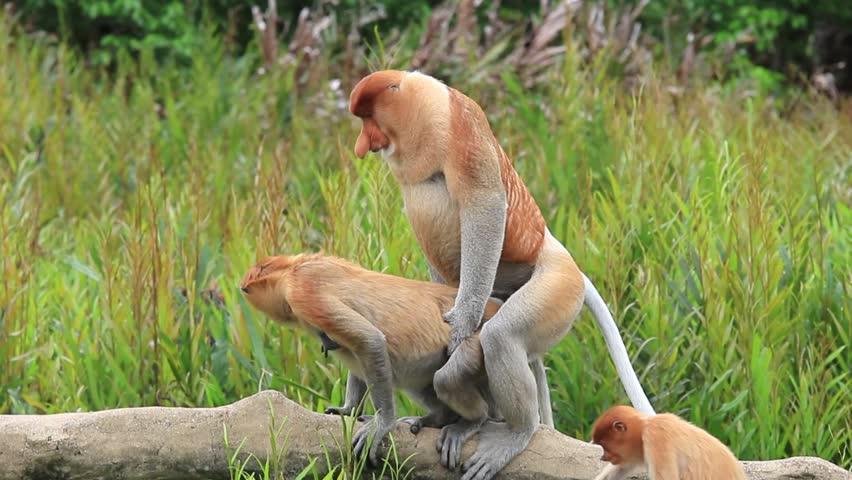 Pair Proboscis Monkeys mating sex | Shutterstock HD Video #17502664