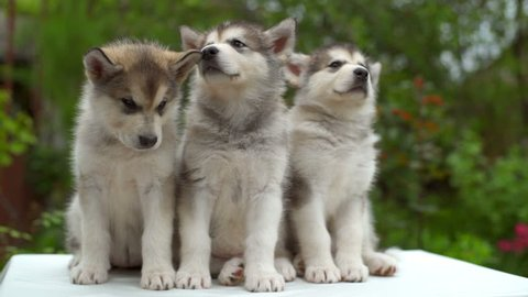 three cute malamute puppies yawning one by one in the garden slow motion