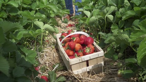 A basket filled with fresh picked strawberries lying on the ground in a strawberry field in a local farm in the Czech republic on a sunny weekend. 2016.06.05