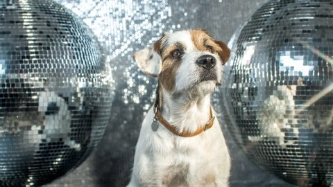 cute jack russell dog in a disco setting
