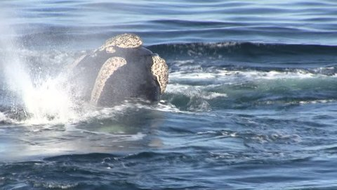 Southern Right Whales in Mating Group