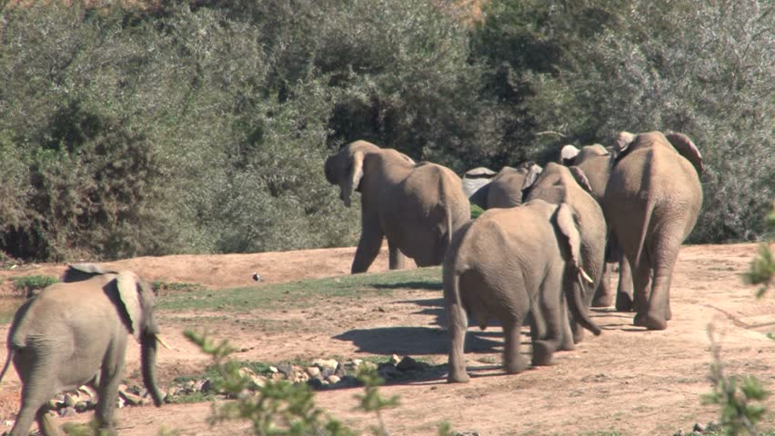 elephant-adults-only