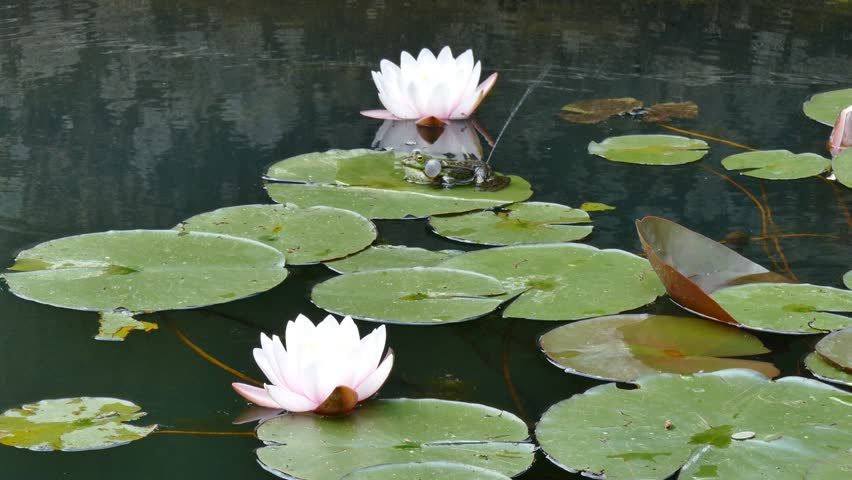Frog sitting on water lily. Two big lily flowers