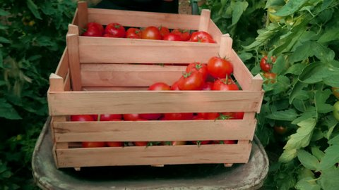 Hand picking tomato and sorting in the crates, fruits close up, produce of vegetables in a greenhouse, daylight, outdoor.