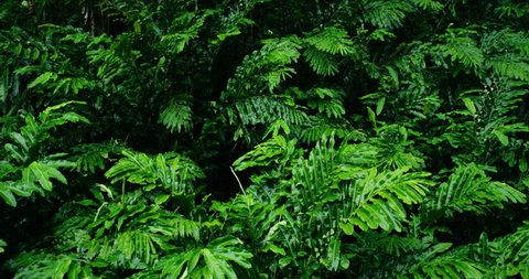 Beautiful green leaves blowing in the wind in tropical jungle rain forest in Maui, Hawaii