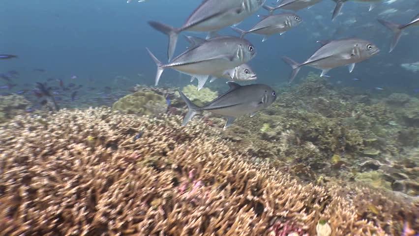Over reef to a school of jacks | Shutterstock HD Video #1766768