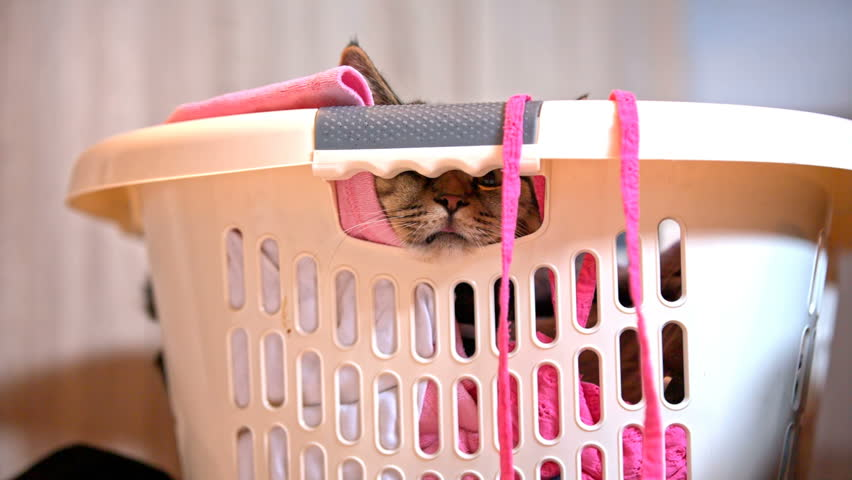 Cat resting inside laundry basket with seen nose . Cute funny kitten looking through laundry basket hole, hiding amongst clean clothes.