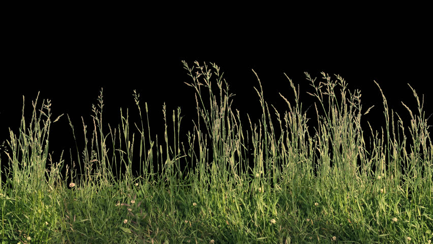 Beautiful high tiled panorama grass, real shot green plant blowing on the wind, isolated on alpha channel with black white luminance matte, perfect for film, digital composition, projection mapping