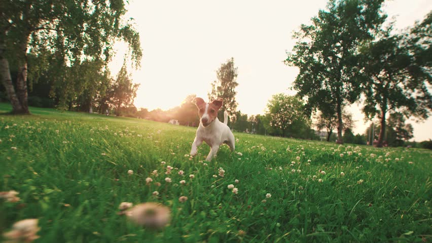Jack Russell Terrier dog running carefree through the grass in the nature Park, slow motion | Shutterstock HD Video #17716834