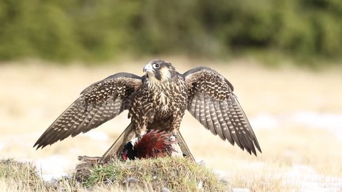 Peregrine falcon in the grass with kill pheasant. Bird of prey Peregrine Falcon in heather meadow. Peregrine falcon in nature habitat. Summer day with peregrine falcon. Peregrine falcon in the forest