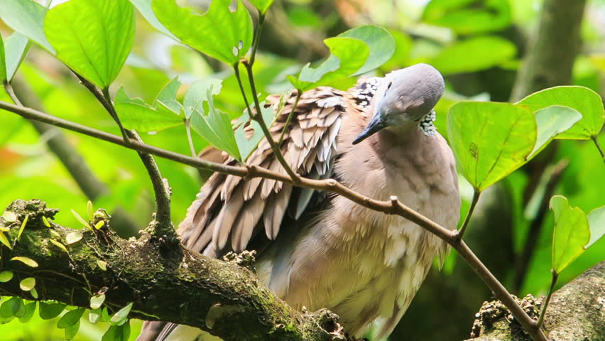 closeup Gray Dove sits on tree branch among green leaves turns to-and-fro and cleans feather