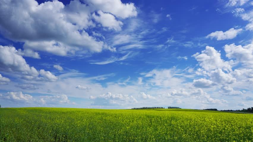 beautiful flowering rapeseed field under blue sky, timelapse, 4k