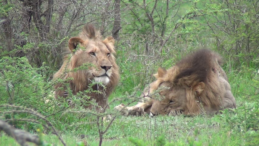 2 male lions together