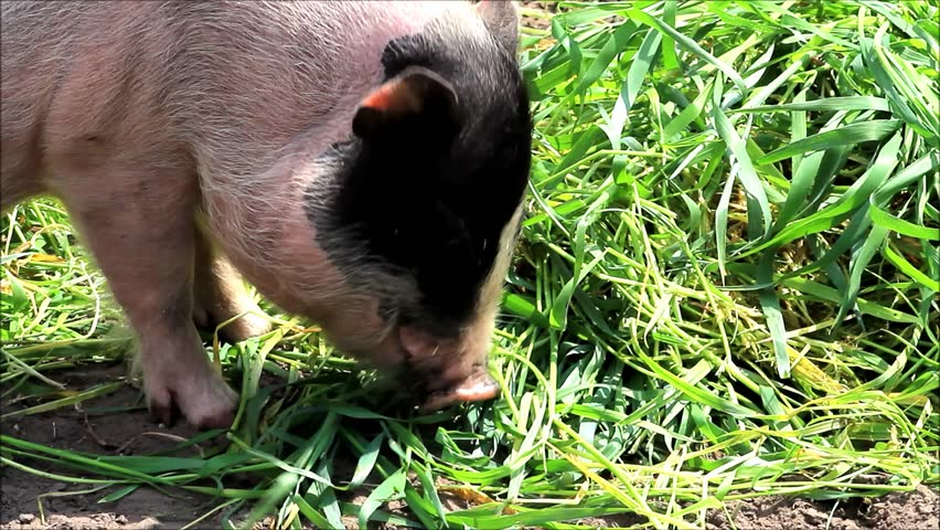mini pig eating grass, teacup pig