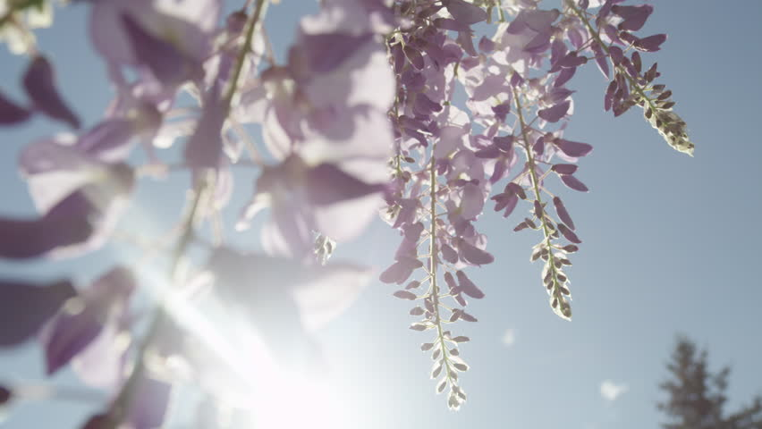 SLOW MOTION CLOSE UP DOF: Summer sun shining through beautiful blooming wisteria flowers on a perfect sunny day. Delicate glicinia purple petals hanging and swaying in spring breeze | Shutterstock HD Video #18107962