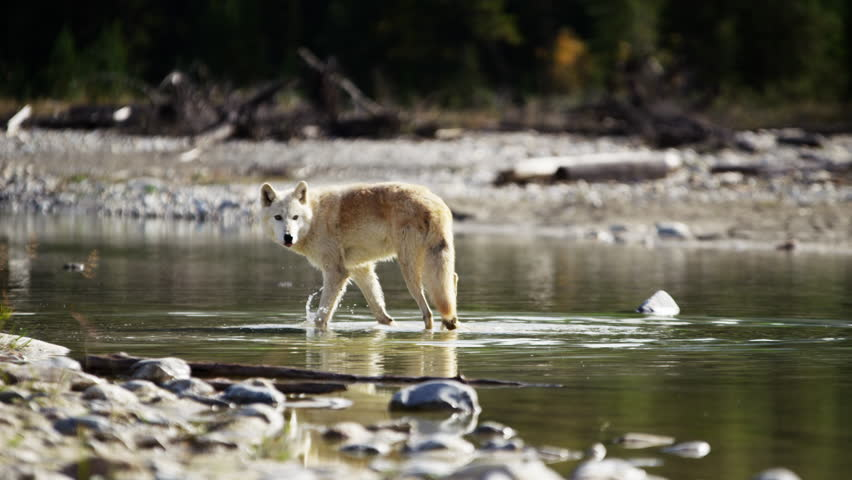 Wild grey wolf crossing a river outdoor on National Reserve