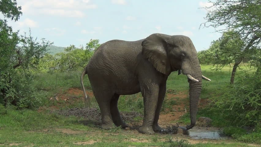 Elephant splashes himself with mud