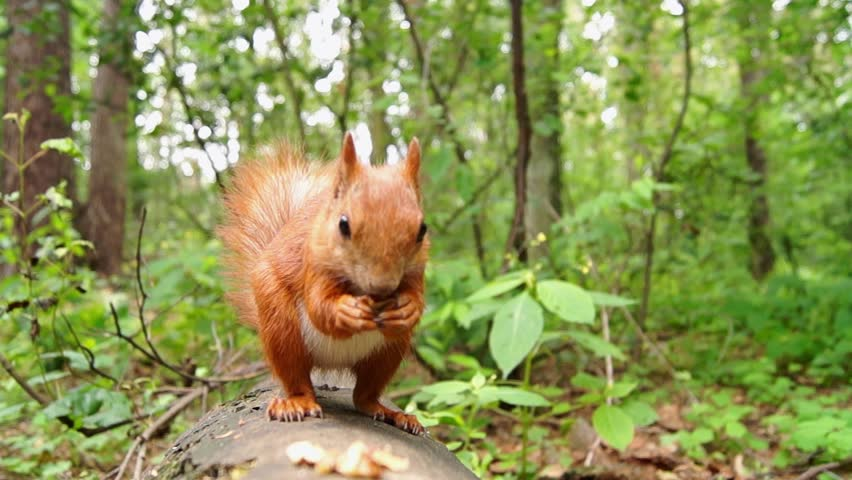 Cute Red Squirrel Jumps on a Tree Stump and Starts to Eat Nut. the Action in Real Time.