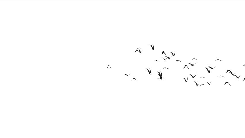 4k flock of pigeons birds fly over,migratory birds animal background. 5021_4k #18233452