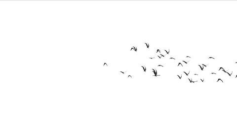 4k flock of pigeons birds fly over,migratory birds animal background. 5021_4k