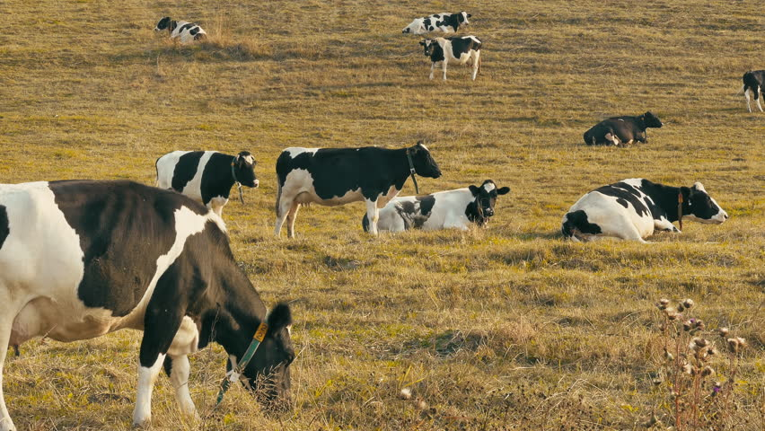 Cows in field / cows farm / grazing cows. Holstein cows graze on pasture with yellow autumn grass at the golden hour just before sunset. (av24163c)