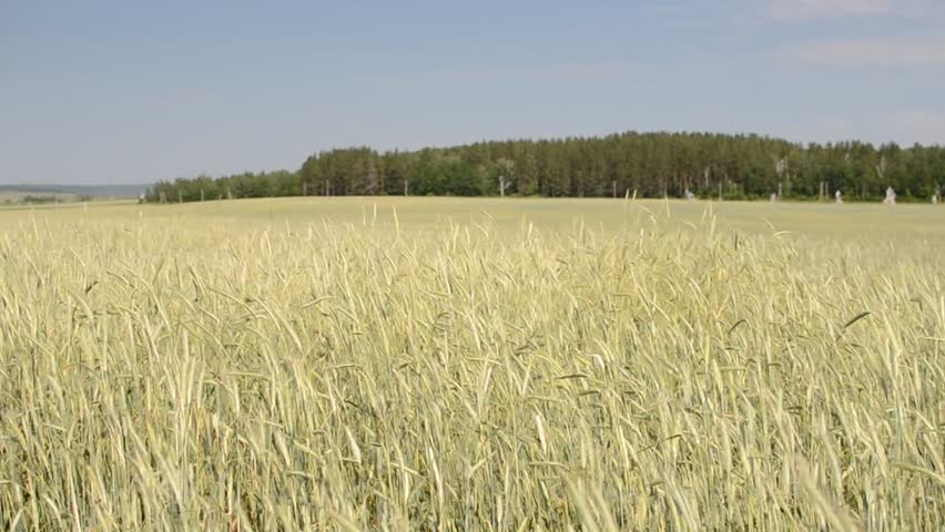 yellow wheat field in the summer - HD stock video clip