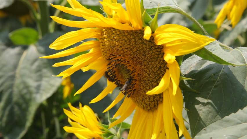 Beautiful sunflower field in summer. Bee on sunflower collects necta - Stock Video | Shutterstock HD Video #18326872