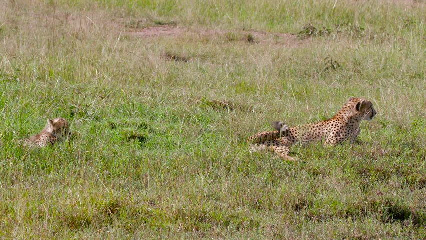 Female Cheetah & Cub Sat In Long Grass; Maasai Mara Kenya Africa