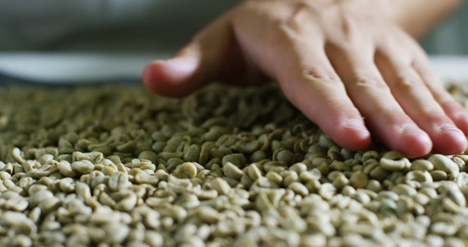 a male hand caressing, touching and grabbing some coffee beans in brine during a taste and a coffee plantation