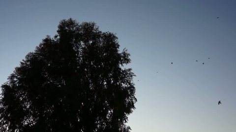 Silhouette of a large, bird filled tree that seems to explode while the birds are leaving in synchronized harmony.