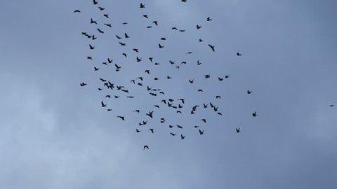 flying flocks of Pigeons
