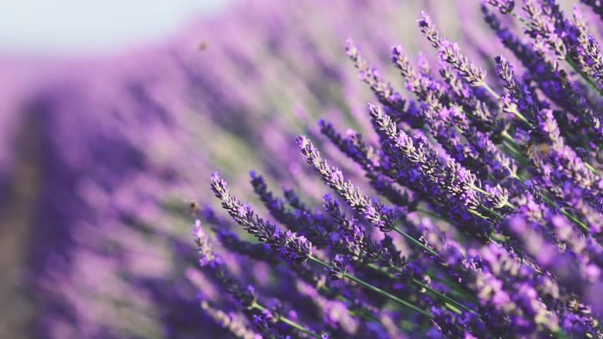 Beautiful Blooming Lavender Flowers swaying in the wind. Close Up. SLOW MOTION 120 fps. Lavender Season on Plateau du Valensole, Provence, South France, Europe. Calm Cinematic Nature Background. | Shutterstock HD Video #18446182