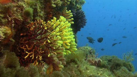 Costa Brava, diving the Mediterranean sea, Deep water reefs Violescent sea-whip gorgones, Spain