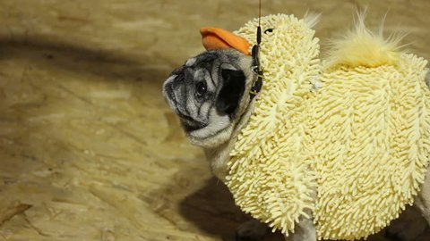 Friendly fawn pug wearing funny costume wagging curly tail, waiting for treats