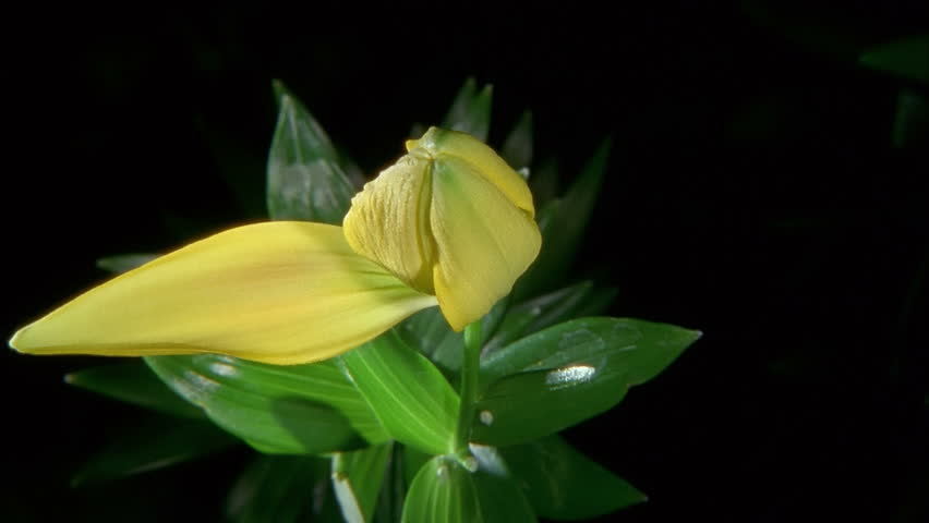 Yellow Lily Flower Blooming in Time-lapse
