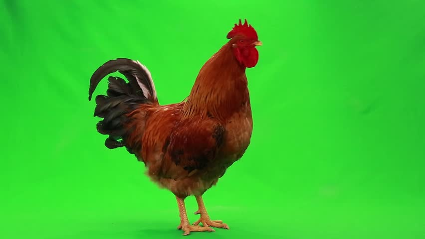Singing rooster on  green screen | Shutterstock HD Video #18527336