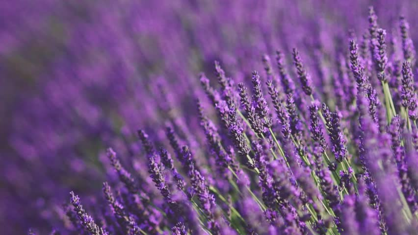 Beautiful Blooming Lavender Flowers swaying in the wind. Close Up. SLOW MOTION 120 fps. Lavender Season on Plateau du Valensole, Provence, South France, Europe. Calm Cinematic Nature Background. | Shutterstock HD Video #18547664
