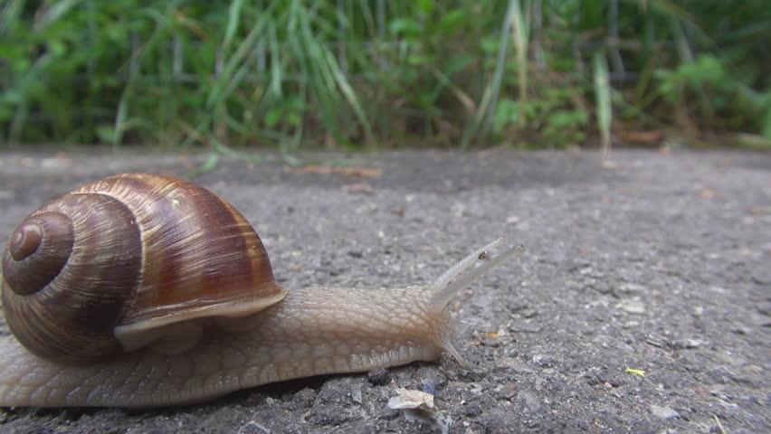 Edible escargot in motion, snail animal sliding on sidewalk, wet mucus follow by day