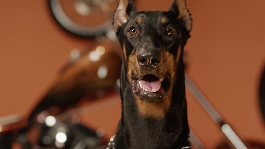 Black doberman barking in the interior. Shot on RED EPIC Cinema Camera in slow motion.   Shutterstock HD Video #18568289
